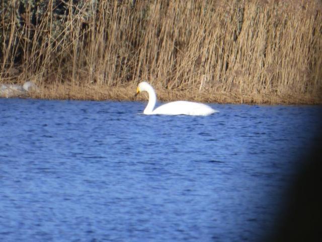Whooper swan. Heading north?