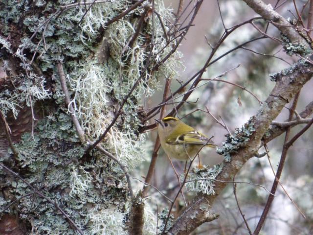 Goldcrest on lichen-y birch