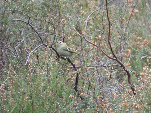 Goldcrest feeding in the heather