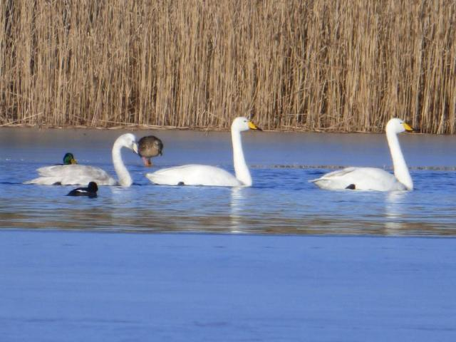 Two adult and one young whooper