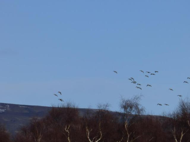 Pink-footed geese flighting in to Loch Davan