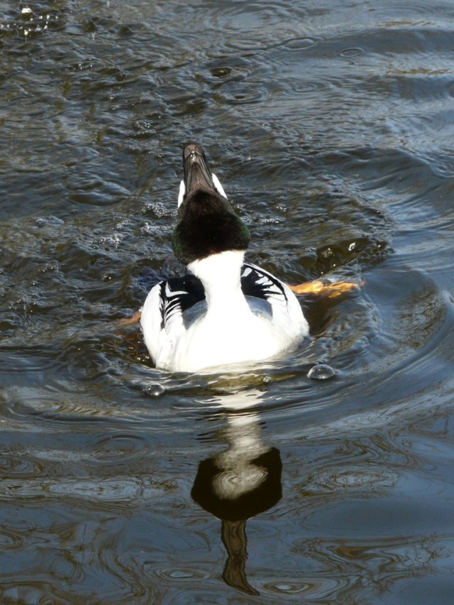 Goldeneye in full display. Roughly translated, get your coat, you've pulled!