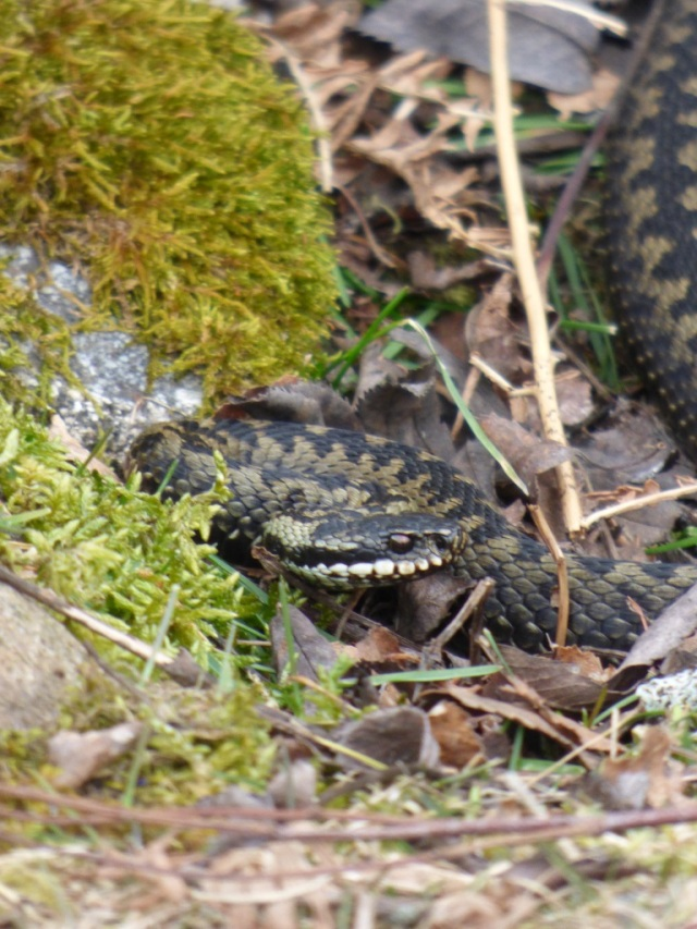 Hardy adder- it was only 5 degrees when we saw him!