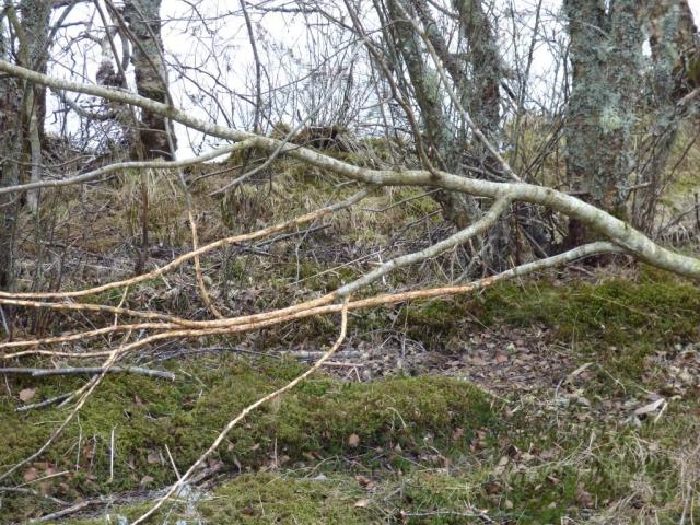 The rabbits a desperate for food and de-bark any fallen branches