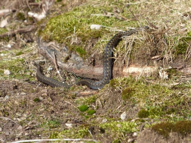 Adder lurking by rowan tree roots