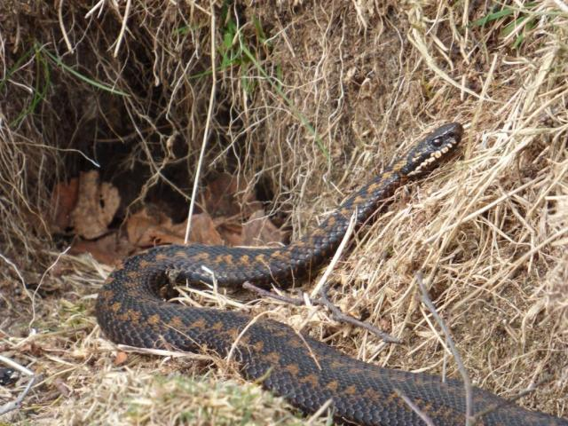 Brown coloured male adder