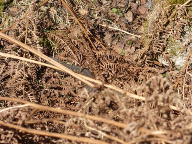 Spot the adder? This one is newly emerged and still dusty