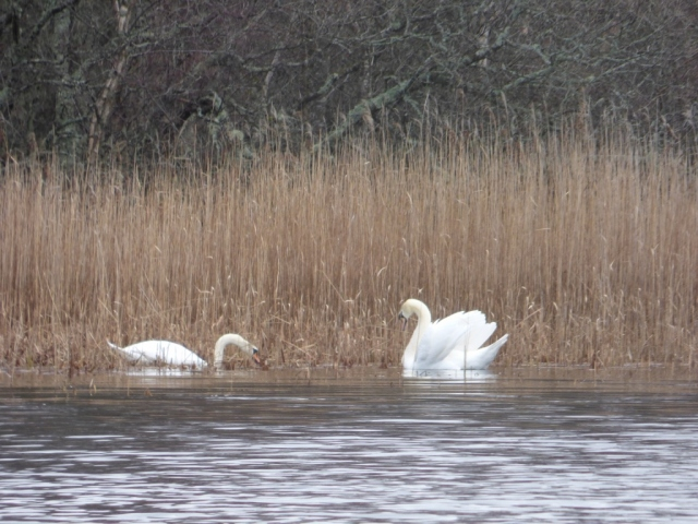 Swans prospecting for nest sites