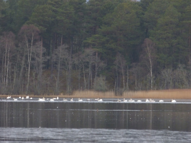 There are over 50 swans on Loch Davan just now