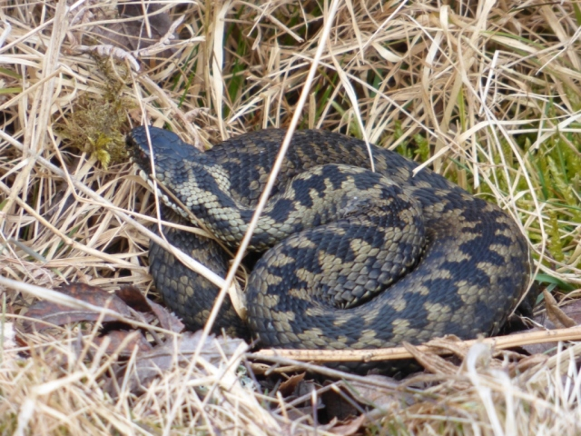 Adder coiled up