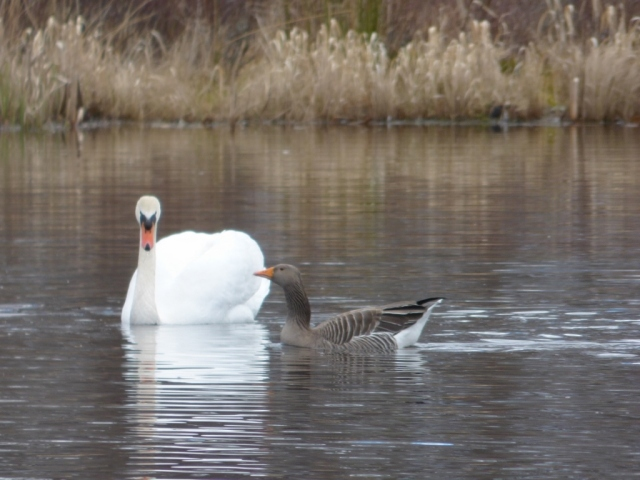 The mute swan is giving the greylag the evil eye. The goose isn't happy about the swan either.