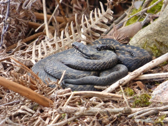 Adders basking together to share warmth