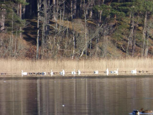 Whooper swans, Loch Davan
