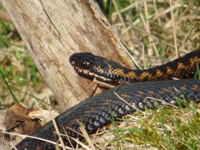 One of the brown adders