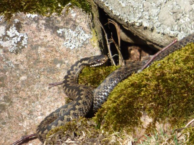 The pale, shy adder....taken from a long way away so not to scare him.