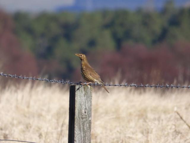 Song thrush, singing from a fencepost...