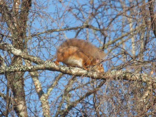 Squirrel licking sap from birch tree