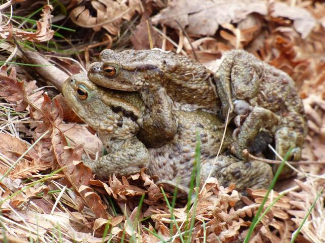 heads and tails- they male toads grab the female any old way