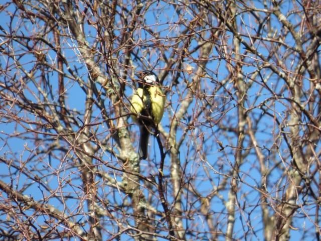 """great tit """"teachering"""" in birch tree"""