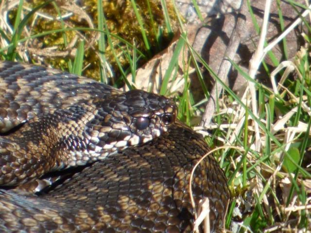 Some of the adder's eyes are starting to go milky