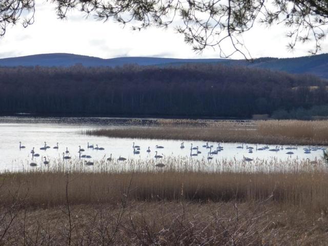 A flock of whooper swans, Loch Davan