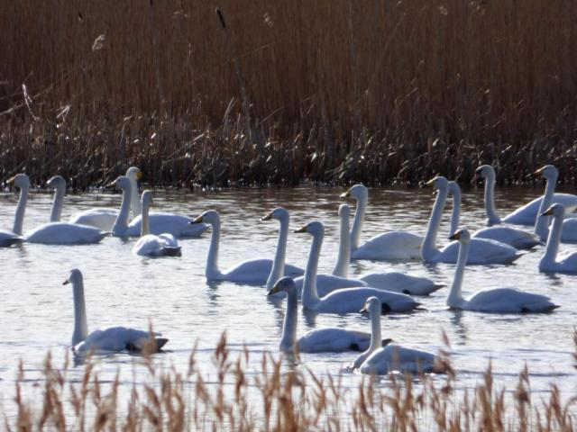 There are 18 whooper swans (+ whooper one tail) and one mute swan in the picture. can you spot the mute?