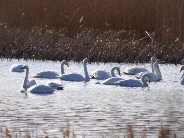 Whoopers feeding at Loch Davan