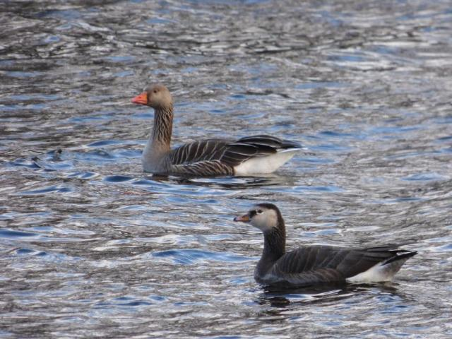 It's one of the graylag/ barnacle goose hybrids! Pure greylag in the background.
