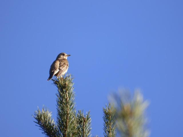 Thrushes like singing from a high spot