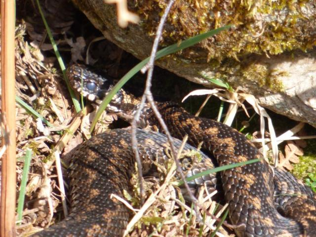 This adder must be getting close to shedding his skin