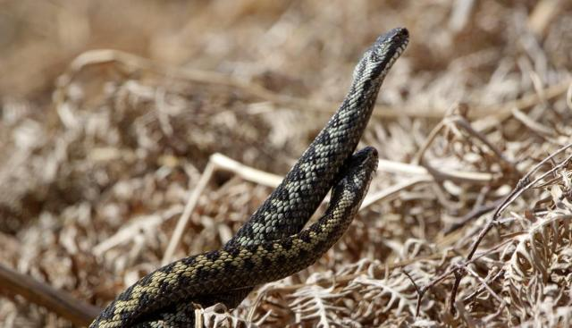 dancing adders. the colour difference makes it easy to tell them apart