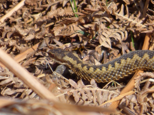Male adder with clear eye