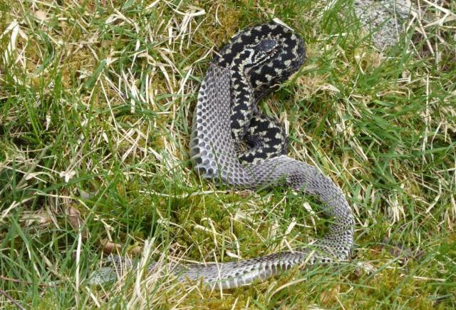 Male adder shedding skin