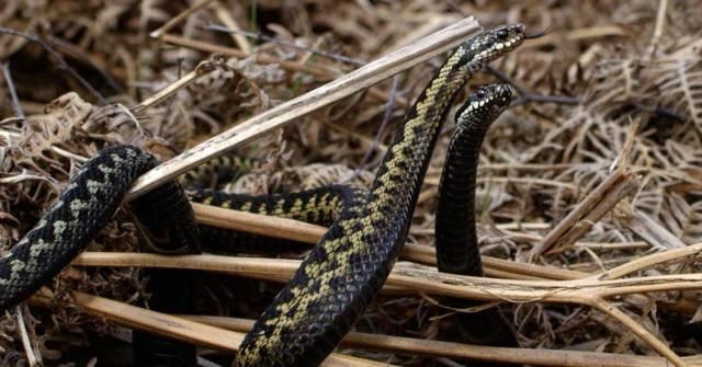 The dance of the adders