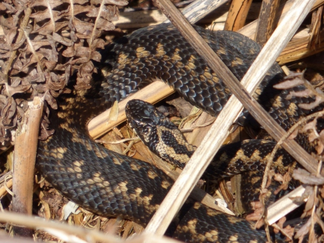 Male adder with cloudy eye