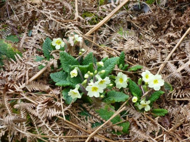 Primroses on the Burn o Vat trail