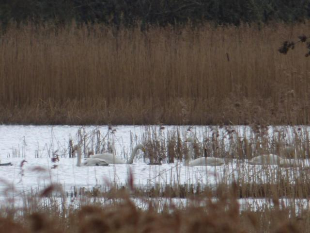 We had a group of 21 whooper swans pass through the reserve on Thursday.