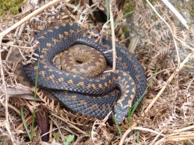 More amorous adders- but this brown male (on the outside of the coil) is a very different colour to the blue males