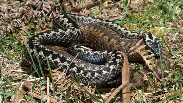 Amorous adders- the male is trying to get the female in the mood by moving over her