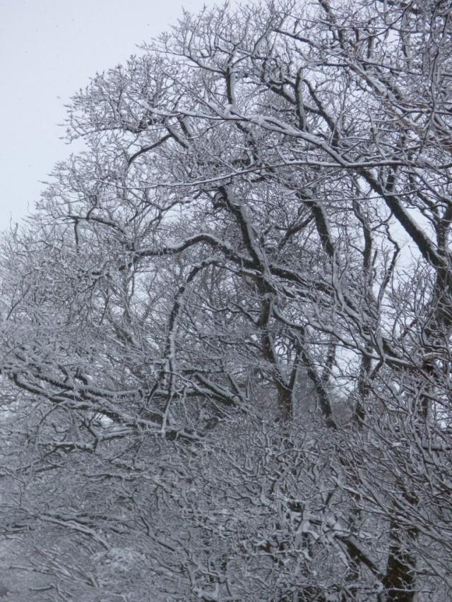 Snowy trees, Tuesday morning