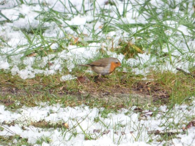 Robin feeding in the snow