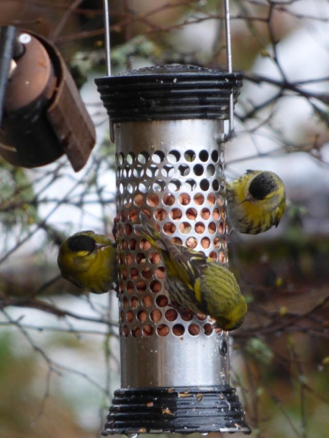 Siskins on the peanut feedeer