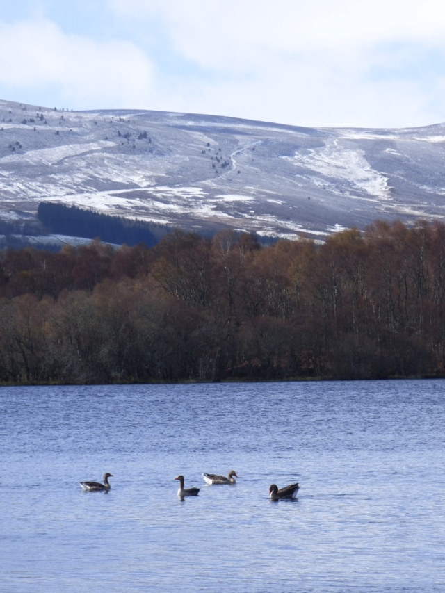 Greylags in the foreground....snow in the background!