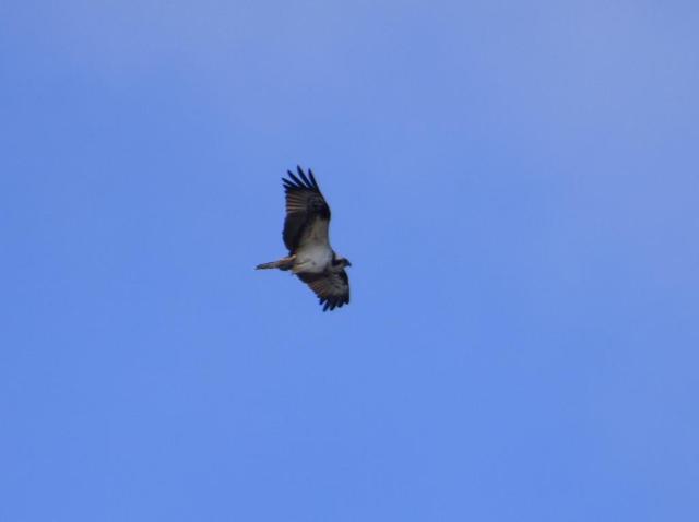Osprey over Loch Kinord