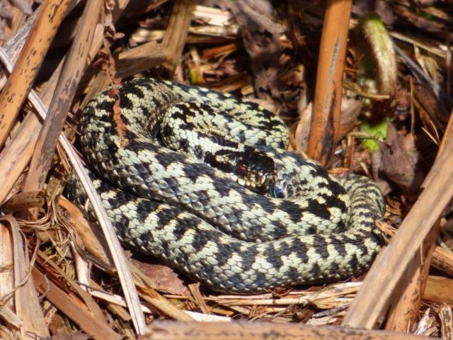 A particularly brightly-coloured male adder