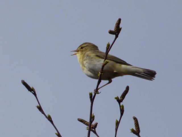 Willow warbler...warbling.