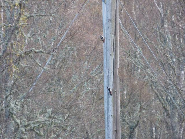 Pole peckers- the great spotted woodpeckers like to drum on the telegraph poles