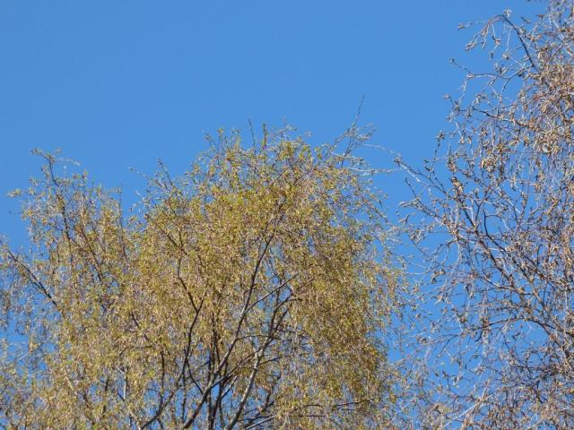 New green on the birch trees