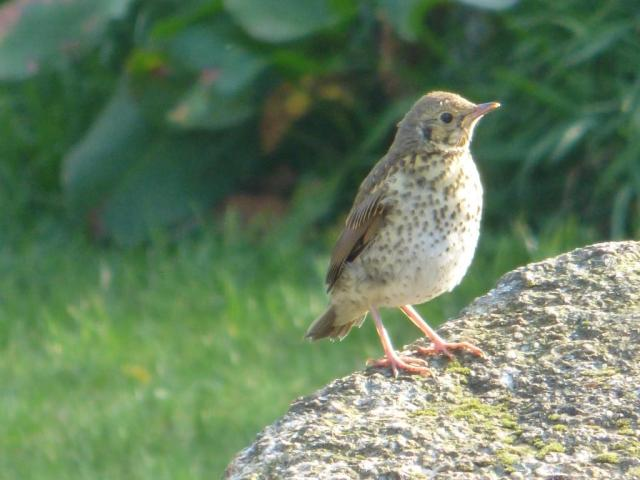 Newly fledged song thrush