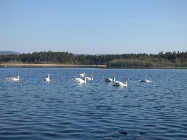 The bachelor flock of mute swans